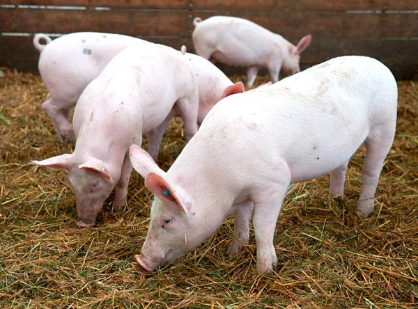 Regionales Bio-Schweinefleisch