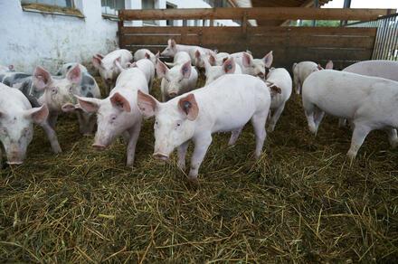 Bio-Schweinefleisch